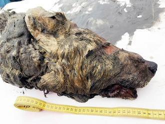 Neuveriteľný objav: Na Sibíri našli 40-tisíc rokov starého vlka, mal obrovské rozmery