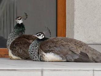 Nejpopulárnější pták Karviné? Po městě se volně procházejí okrasní pávi