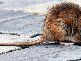 Potkani řádí v metropoli. Mohou za to sami Pražané