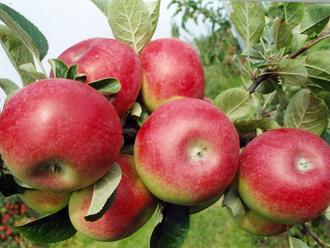 Ovocné sady v Česku mizí, situace je kritická i podle odborníků