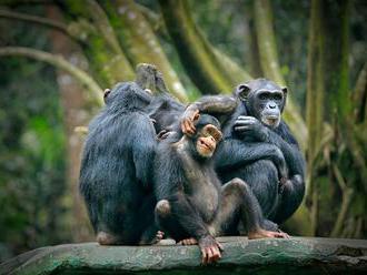 Vědci pustili šimpanzům film a nestačili se divit. Zvířata byla rázem přátelštější