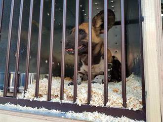Zoo Dvůr Králové poslala do Austrálie čtyři psy hyenové