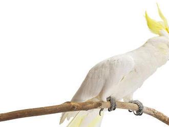 Vedci skúmali tancujúceho papagája - a závideli