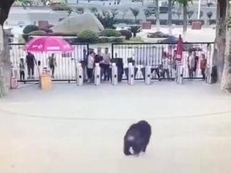 Ako z Planéty opíc: Šimpanz sa dostal von z klietky a naháňaľ ľudí v zoo. Schytal to jeden muž