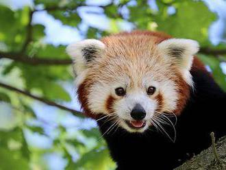 Uprchlou pandu červenou se podařilo odchytit. Vrátila se do plzeňské zoo