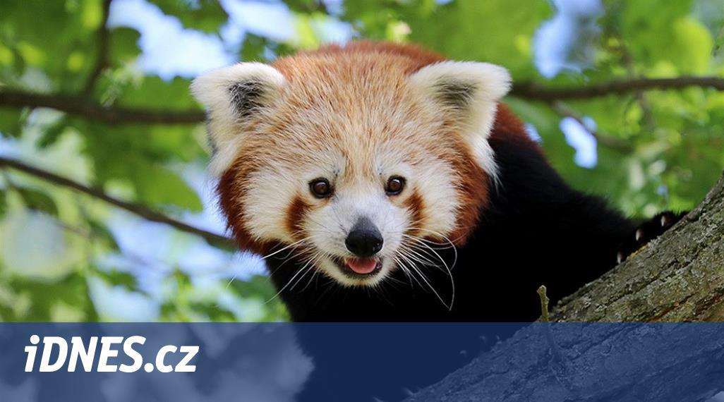 Panda z plzeňské zoo je už týden na útěku, nenašli ji ani s termovizí
