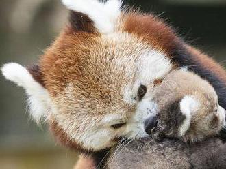 Z plzenskej zoo utiekla vzácna panda červená