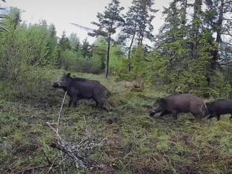 Veterinári nariadili poľovníkom intenzívny lov diviakov, môžu použiť aj zakázaný spôsob