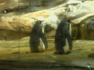 Párik homosexuálnych tučniakov sa stane rodičmi, adoptovali si vajíčko