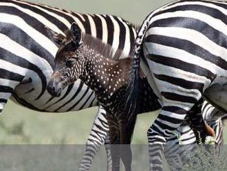 Ilyet még biztos nem látott, mutatunk egy pöttyös zebrát