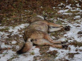Polícia hľadá páchateľa, ktorý zastrelil samicu vlka