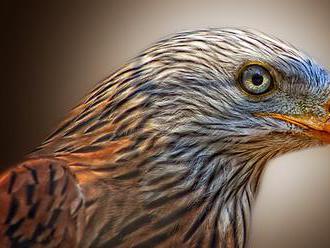 Mladého orla kráľovského, ktorého našli so zlomenými nohami, vypustili do voľnej prírody
