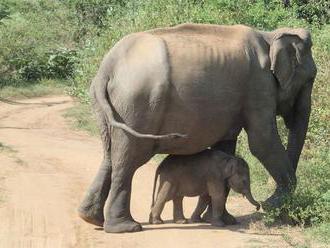 Vlani zahynul na Srí Lanke rekordný počet slonov. Väčšinu zabili ľudia
