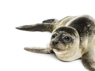 VIDEO: Nemecký ostrov je kolískou tuleních mláďat v Severnom mori