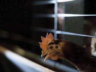 Objavil sa už druhý prípad vtáčej chrípky na Slovensku