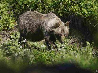 Medvede vo Vysokých Tatrách sa budú zaháňať, niektoré umiestnia do zoo