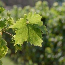 Milovníci vína - Piemont