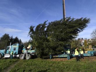 V Kamenném Přívozu dnes pokáceli vánoční strom pro Prahu