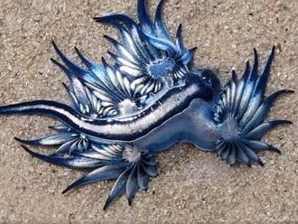 More vyplavilo modrého draka. Prírodovedci ho označili za najkrajšieho zabijaka oceánov