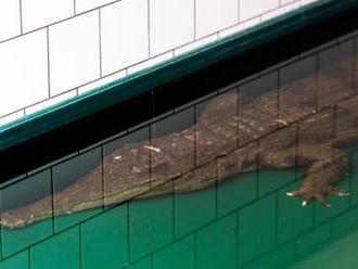 ZOO Dvůr získala ze Španělska vzácného krokodýla štítnatého