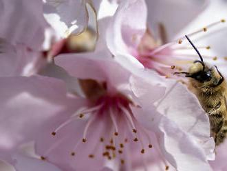 Minden évben 30 milliárd méh utazik Kaliforniába, Minden évben 30 milliárd méh utazik Kaliforniába,
