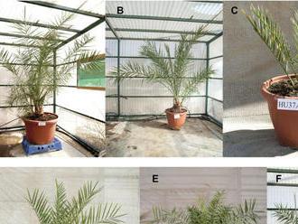 Izraelským vedcom sa podarilo vypestovať palmy zo semien starých 2000 rokov