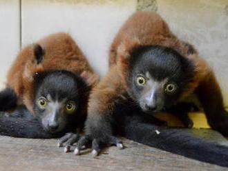 Děčínská zoo poprvé odchovala kriticky ohrožený druh lemura