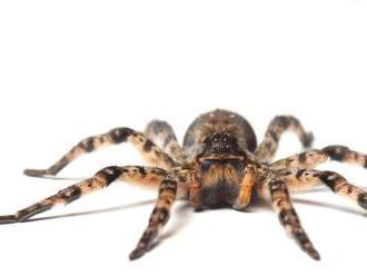 Austrálčan popísal sedem nových druhov pavúka pávieho