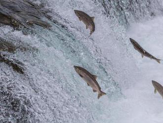 Lososie mäso môže čoskoro zdražieť. Vývoz ohrozí výstavba bane na Aljaške