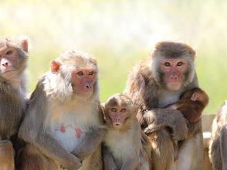Planéta opíc v Thajsku: 'Ľudia v klietke, opice na slobode'