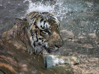 Na Sumatre našli otrávenú samicu tigra
