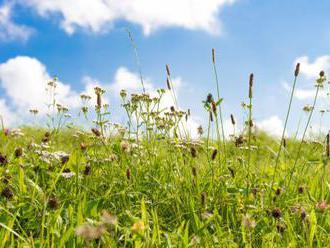 Sezóna paliny aambrózie ohrozuje alergikov