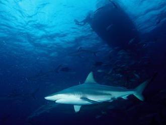 Čoho sa boja žraloky? Na dramatických záberoch tieto predátory zbesilo utekajú pred štvormetrovým &b