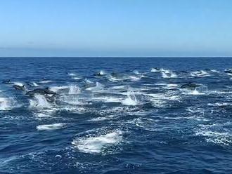 Tři sta skákajících delfínů na unikátním videu. Dosud nevysvětlený jev, říká kapitán
