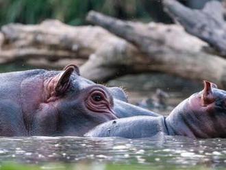 V Safari Parku Dvůr Králové se před zraky návštěvníků narodil hroch