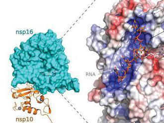 Vedci popísali spôsob, akým covid uniká pozornosti bunkovej imunity. Prispeje to k vývoju liekov