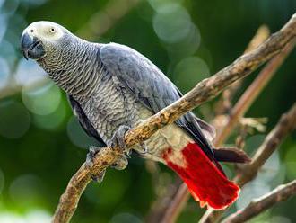 Pětice papoušků sprostě nadávala návštěvníkům. Zoo je musela před lidmi schovat