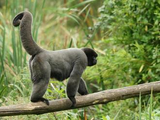 Do zlínské zoologické zahrady přibyl nový druh, chápan vlnatý