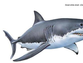 Vedci spočítali dĺžku prehistorického žraloka megalodona