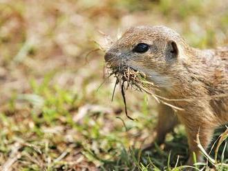 Zoo v Bojniciach zabezpečí odchov sysľov: Ročne sa do voľnej prírody dostane aj takýto počet jedincov!