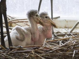 Zoo Dvůr Králové se podařilo odchovat čtyři čápy marabu, jeden pojede do Itálie