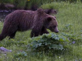 NYT: Stvořeni k lenošení? Medvědi pomáhají zjistit, proč lidé šetří energii