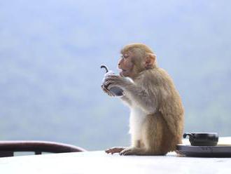 Z nemeckej zoo utieklo 20 makakov, potulujú sa po meste