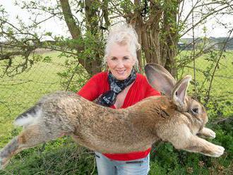Hledá se Darius. Zloději ukradli největšího králíka na světě, měří 129 centimetrů