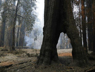 V Kalifornii objevili doutnající sekvojovec po požáru z loňského roku