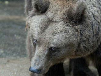 Zabiť medveďa? Posledné riešenie. Strieľajú po nich aj paintballovými guľkami