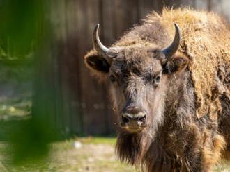 Další zubr z pražské zoo míří do volné přírody