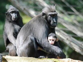 Z děčínské zoo utekl samec makaka chocholatého, po třech hodinách se našel