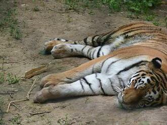 FOTO: Zoo v Plzni má novou tygřici Milashki