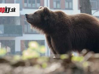 Zničený majetok a strach v meste: Zásahový tím musel konať! Problematického medveďa uspali